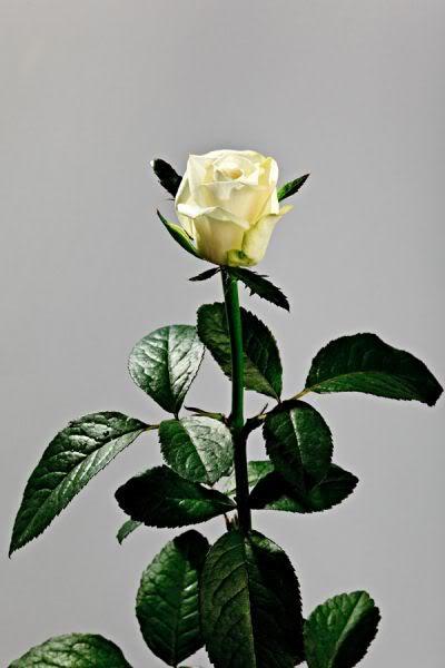 Lule dhe vetëm lule! - Faqe 2 A_FICcrtaIvJVrte5697KxVjuvvF9K09yS_K0nMw_GEVreVlj6IjGg==